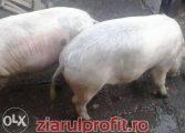 Afacere de sezon!Porcii – cea mai cǎutatǎ marfǎ pe online