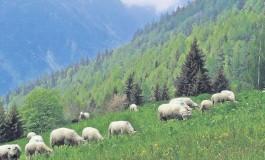 Crescătorii de animale din comuna Rucăr se revoltă împotriva primăriei
