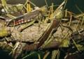 Invazie de lăcuste în Piteşti