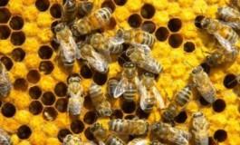 Venin de albine: proprietăţi, beneficii şi posibile reacţii adverse