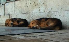 4 miliarde de lei- atât i-a costat pe piteșteni prinderea câinilor de pe străzi