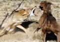 Coiotii salbatici fac prapad in Curtea de Arges – Au omorat zeci de animale