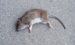 """Pentru a scăpa Câmpulungul de şobolani primăria a angajat firma de deratizare """"EcoMoca"""""""