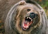 Ursul a facut prapad in Arges - Animale omorate si masini distruse