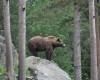 Urşii care fac probleme argeşenilor, incluşi în cota de vânǎtoare din acest an