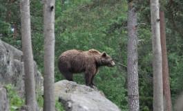 Urşii din pădurile Muscelului au intrat în atenţia prefectului