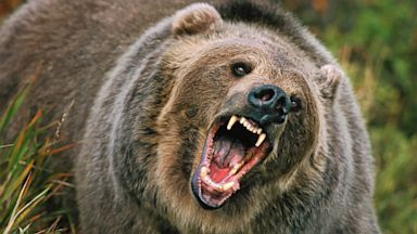 Ursul care zilnic ataca intr-o comuna din Arges nu poate fi impuscat