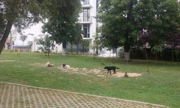 EXCLUSIV! Mai sunt 500 de maidanezi pe strǎzile din Curtea de Argeş - Hingherii au prins peste 400 de câini care au fost eutanasiaţi