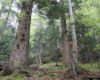Ultimele păduri virgine ale Argeşului