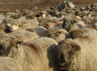 Sute de oi ar putea ajunge in curtea primariei Curtea de Arges