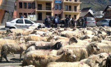 PROTEST FĂRĂ PRECEDENT ! O turmă de oi blocheaza primăria oraşului regal !