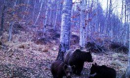 INCREDIBIL! Ursii inchid turismul în Argeş iar autoritǎţile aşteaptǎ… acte