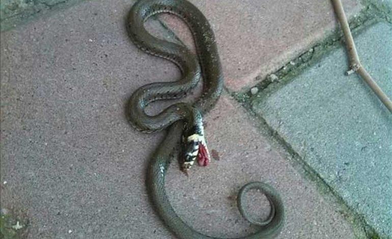 RUŞINE ! Au aparut şerpii în Curtea de Argeş – Buruieni cat primarul la 50 metri de primărie !