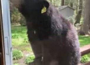 Ursii au vandalizat terasa la Valea cu Pesti