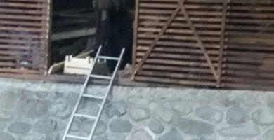 VIDEO EXCLUSIV! Ursoaica si cei trei pui de la Cetatea Poienari au fost capturati