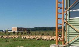 Sute de oi la pascut in parcurile municipiului regal