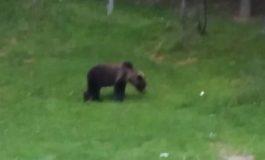 ACUM! Ursul la plimbare strada Busaga din Curtea de Arges