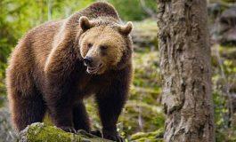 ACUM ! Argeşean atacat de urs !