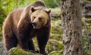 VIDEO ! Urşii au revenit la cetatea Poienari - Uite ce îi atrage acolo