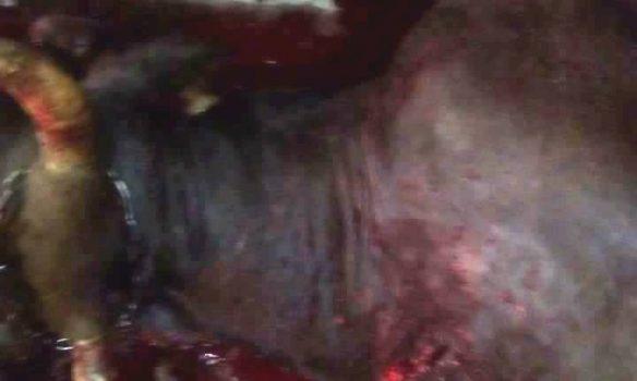 IMAGINI DE GROAZA ! Ursii au omorat animalele la Tigveni