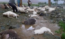 MACEL LA STANA - a omorat 50 de oi
