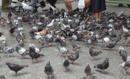 EXCLUSIV!Porumbeii şi şobolanii ridicǎ mari probleme în oraşul regal