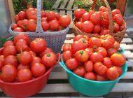 Primele roşii cultivate in Argeş au ajuns in pieţe ! Edu Cristinel, primul producător care le ofera la vanzare