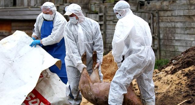 ALERTA ! Pestă porcină africană la Băiculeşti – Restrictii pana la Curtea de Arges