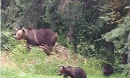Trei turişti s-au suit într-un copac, de frica unui urs pe care l-au întâlnit pe un traseu circulat din Munţii Bucegi
