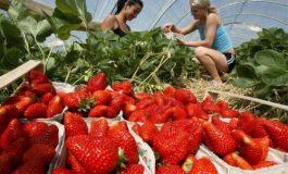 800 locuri de muncă ! Se caută căpșunari pentru Spania