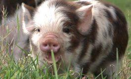 Încă o boală periculoasă afectează porcii din România. Primul caz a fost înregistrat într-o gospodărie din Botoşani