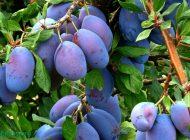 BUCURIA BEŢIVILOR !?! VA FI ŢUICĂ ! Producţie record de fructe în Argeş