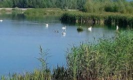 NU RATA ! VIDEO Lacul lebedelor la Curtea de Argeş, un spectacol fascinant oferit de natură