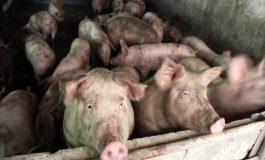 ALERTA! Pesta porcină la câţiva kilometri de Argeş