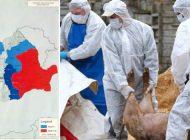 EXCLUSIV AUDIO ! Uite cum pesta porcina se amplifica sub nasul ANSVSA - Ziarul nostru a cumparat porci din focarele de infectie din Brăila