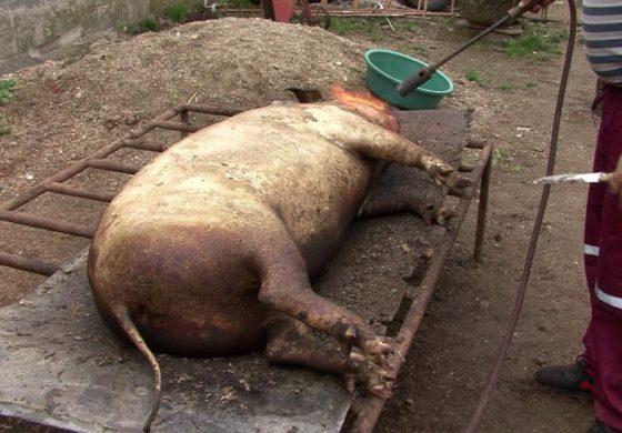 În Argeş a venit Crăciunul mai devreme: De frica pestei oamenii îşi taie porcii !