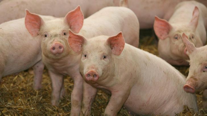 Pesta porcină a făcut prăpăd în România