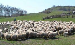 130 de crescători de oi din Argeș au primit bani de la Guvern