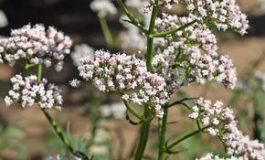 Valeriana: beneficii, riscuri şi efecte negative asupra sănătăţii
