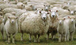 ACUM DE PAŞTI, FOCAR de SCRAPIE în Argeș! Peste 200 de oi vor fi sacrificate