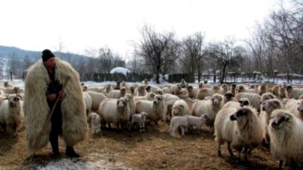 Crescătorii de ovine vor primi şi în 2019 ajutor de minimis pentru comercializarea lânii