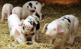 OFICIAL ! Ministrul Daea a stabilit: Nu mai puteti creşte câţi porci vreţi în gospodărie A FOST STABILIT NUMARUL MAXIM