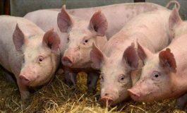 ULTIMA ORĂ ! Pesta porcina la Corbeni, la fostul primar !?!