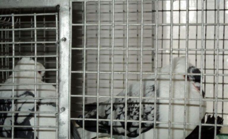 ARGEŞENII SESIZAZĂ: Protejaţi porumbeii de minţile bolnave ale oamenilor