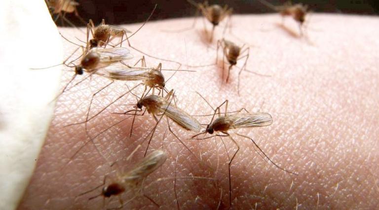 ALERTĂ ! În lipsa desinsecţiilor, Curtea de Argeş şi Câmpulung invadate de ţânţari şi insecte uriaşe