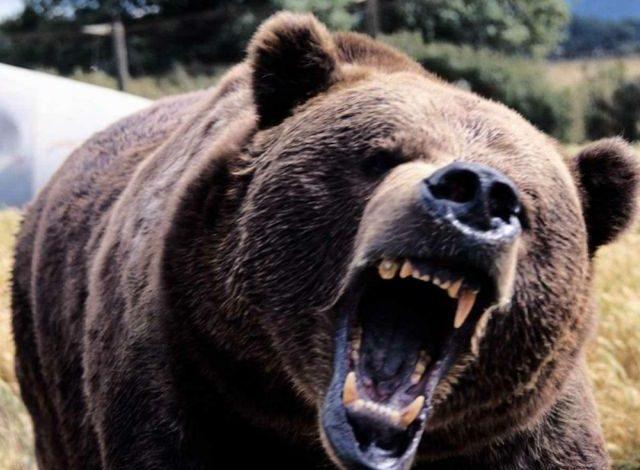 Ursul a atacat și la Brăduleț