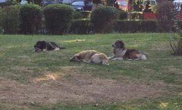 ALERTA ! In aceasta seara, la Curtea de Argeş, câinii au ocupat parcul - Zeci de maidanezi langa zeci de copii
